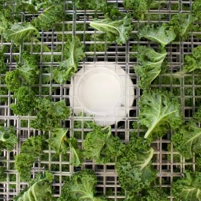 Kale in the dehydrator